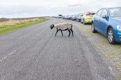 Ein Schaf kreuzt die Straße Stockfotos