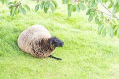 Ein Schaf liegt auf dem Rasen eines Bauernhofes lizenzfreie stockfotografie