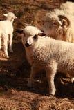 Ein Schaf mit einem Lamm lizenzfreies stockfoto