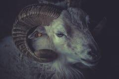 Ein Schaf mit Hörnern Lizenzfreie Stockfotografie