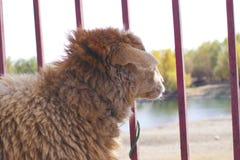 Ein Schaf vor Eisenvergitterung Stockfotografie