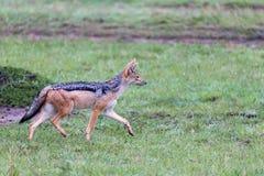 Ein Schakal in der Savanne von Kenia stockfotografie