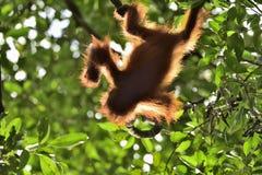 Ein Schattenbild eines Babyorang-utans in der grünen Krone von Bäumen Stockfotografie