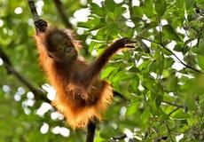 Ein Schattenbild eines Babyorang-utans in der grünen Krone von Bäumen Lizenzfreie Stockfotos