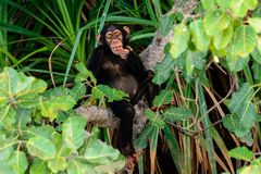 Ein Schimpanse, der auf seiner Niederlassung cogitating ist Stockfoto