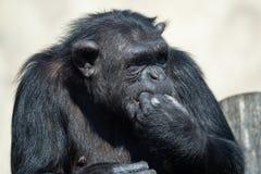 Ein Schimpanse Pan Troglodytes, der ein Gemüse isst Stockbilder