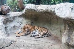 Ein schläfriger Tiger Stockfotos