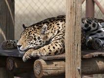 Panther - Nashorn-Löwe-Park lizenzfreies stockbild