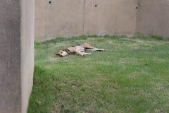 Ein Schlafenhund lizenzfreies stockfoto