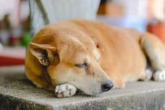 Ein Schlafenhund Stockfoto