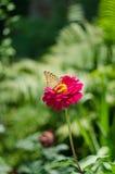 Ein Schmetterling auf dem Rose Zinnia lizenzfreie stockfotos