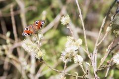Ein Schmetterling auf den Weidenniederlassungen Stockfotografie