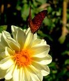 Ein Schmetterling auf der weißen Blume im Garten - Nahaufnahme Stockfoto