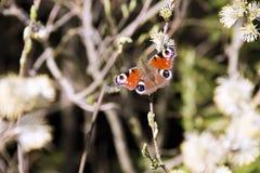 Ein Schmetterling auf der Weidenniederlassung Stockfoto