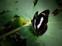 Ein Schmetterling, der auf einem Feigenbaum stillsteht lizenzfreies stockfoto