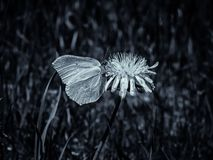 Ein Schmetterling, der auf einem L?wenzahn in der Sonne sitzt lizenzfreie stockbilder