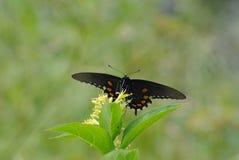 Ein Schmetterling, der das Mittagessen in der Sonne genießt stockfoto