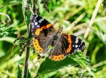 Ein Schmetterling des roten Admirals Vanessa-atalanta Stockfotos