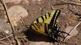 Ein Schmetterling entspannt sich in der Wüste lizenzfreies stockfoto