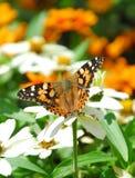 Ein Schmetterling genießt den Blütenstaub in einem Blumengarten Lizenzfreies Stockfoto
