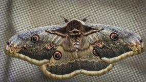 Ein Schmetterling hockte und stehend auf einem Netz interessanter und großer Schmetterling stockfotos