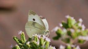 Ein Schmetterling im Frühjahr auf einer blühenden Pflanze stockfotografie