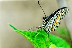 Ein Schmetterling im Ruhezustand Lizenzfreie Stockbilder