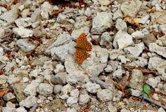 Ein Schmetterling mit einem schädigenden Flügel Lizenzfreies Stockfoto