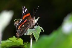 Ein Schmetterling-roter Admiral Stockbild