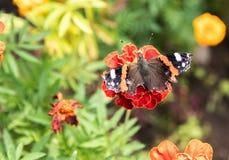 Ein Schmetterling sammelt Blütenstaub von den roten Blumen auf einem Hintergrund des grünen Grases Nahaufnahme lizenzfreies stockfoto