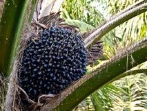 Ein Schmierölpalmen-Fruchtzweig des Baums Lizenzfreie Stockbilder