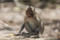 Ein schmuddeliger Affe Lizenzfreies Stockbild