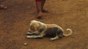 Ein Schnüffeln des streunenden Hundes stock video footage
