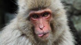 Ein Schnee-Affe, der heraus Zunge haftet Lizenzfreies Stockbild