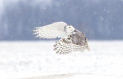 Ein Schneeeule Bubo scandiacus, das über einem offenen schneebedeckten Feld jagt Lizenzfreie Stockfotografie