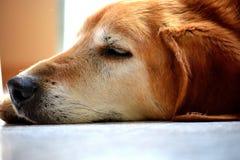 Ein schnelles Hundehaar am Nachmittag Stockbilder