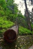 Ein Schnitt Deodar-Baum mit Querschnitt seines Stammes Stockfotografie