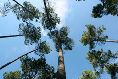 Ein Schuß, der oben dem Himmel im Wald betrachtet Stockfotos
