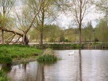 Ein Schwan auf einem Fluss nahe bei irgendeinem Baum Lizenzfreie Stockfotografie