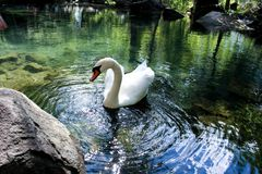 Ein Schwan in einem Teich stockfotos