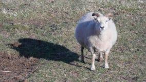 Ein schwangeres Schaf stockfoto