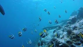 Ein Schwarm bannerfish stock footage