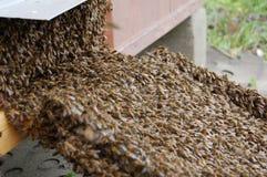 Ein Schwarm der Bienen Stockfotografie