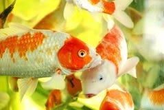 Ein Schwarm der koi Fische Stockfotos