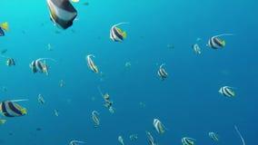 Ein Schwarm von bannerfish stock footage