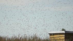 Ein Schwarm von Bienen stock video