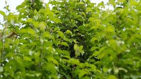 Ein Schwarm von Bienen saß auf einem jungen Baum stock video