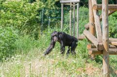 Ein schwarzer Affe Lizenzfreie Stockbilder