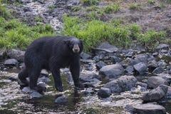 Ein schwarzer Bär beim Essen stockfotografie
