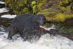 Ein schwarzer Bär, der einen Lachs in einem Fluss mit Spritzen und Schnellimbiß Blut Alaskas isst stockbilder